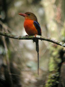 Brown headed Paradise Kingfisher
