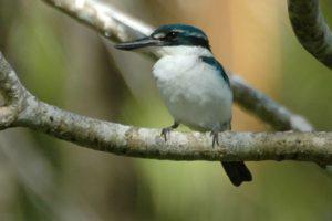 Collared kingfisher male
