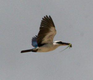 Todiramphus chloris flying lizard in beak